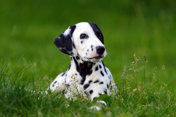 dalmatian-dog-outdoors-in-summer-PU6962N.jpg