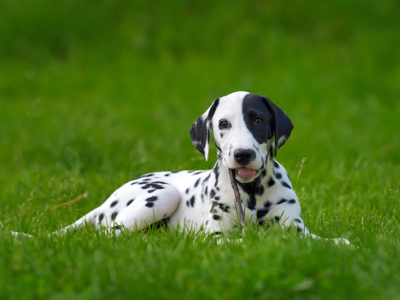 dalmatian-dog-outdoors-in-summer-PYLMQSB.jpg