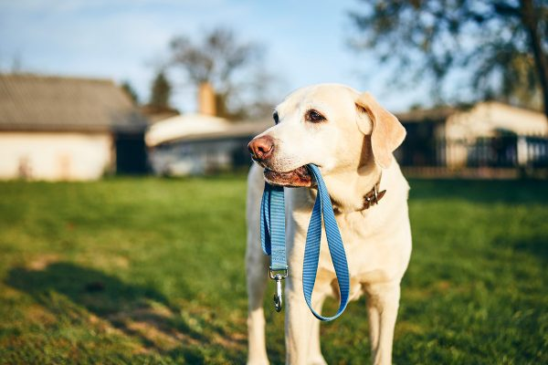 dog-holding-leash-in-mouth-QCP6YHR.jpg