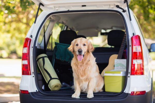 domestic-dog-sitting-in-the-car-trunk-P7XGLZH.jpg